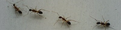 Ants - Action Pest