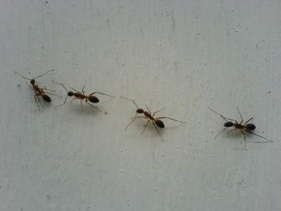 action pest carpenter ants action pest control
