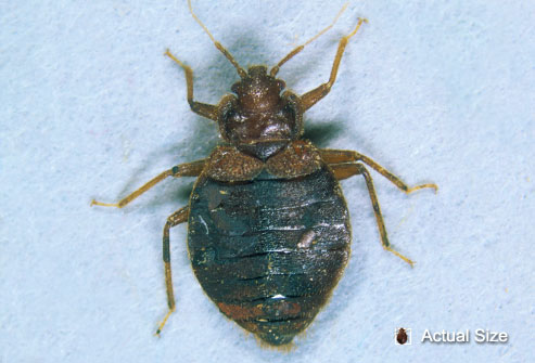 getty_rm_photo_of_adult_bedbug