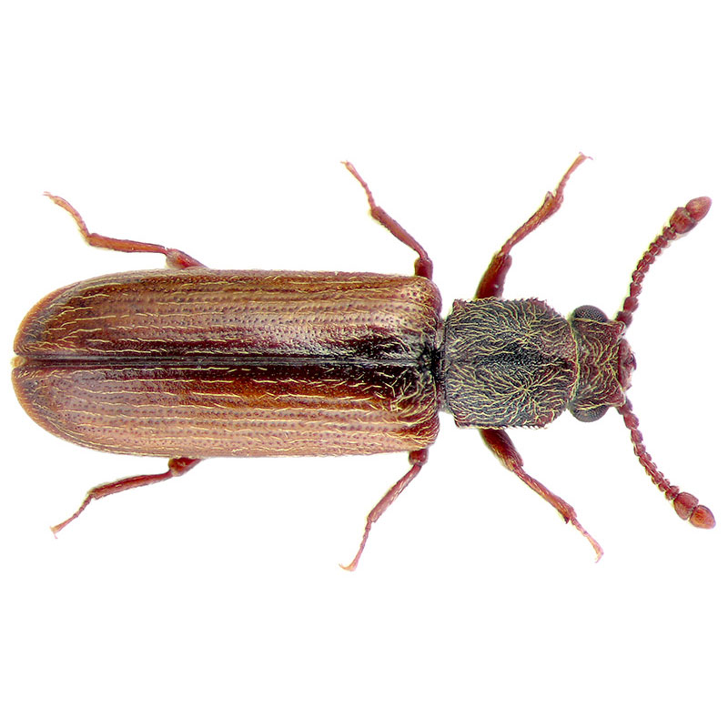 Powderpost-Beetle