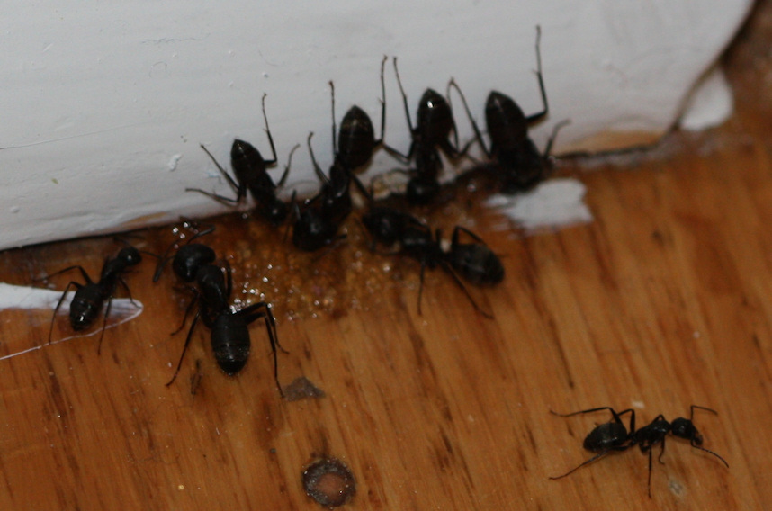 Bunch-of-Carpenter-Ants-feeding-on-bait-Large