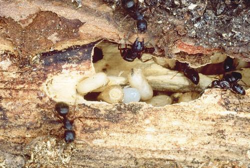 carpenter_ant_nest_creemore