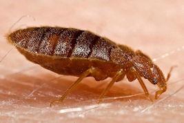 Bedbug_Public