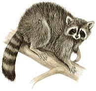 raccoon-2 Action Pest