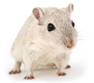 Rodent Pest