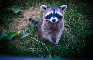 Raccoon Removal Burlington