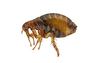 flea Action Pest