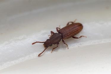 grainbeetle Action Pest