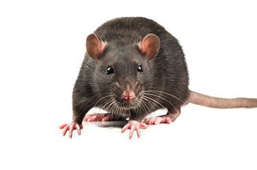 rat-hantivirus Action Pest