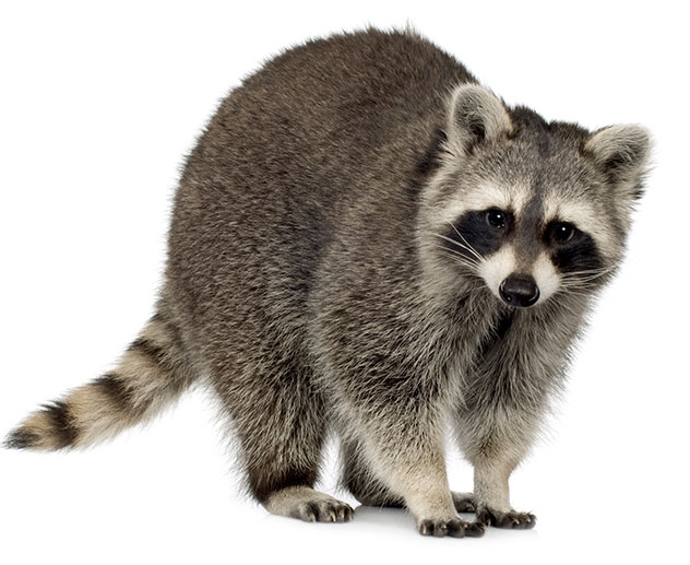 ActionPest_Racoon