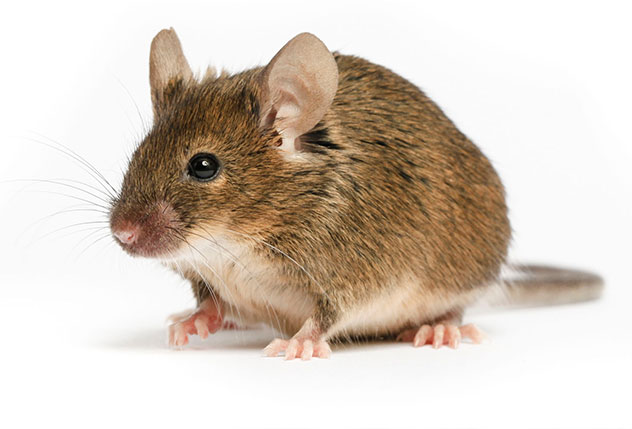 ActionPest_Rodent