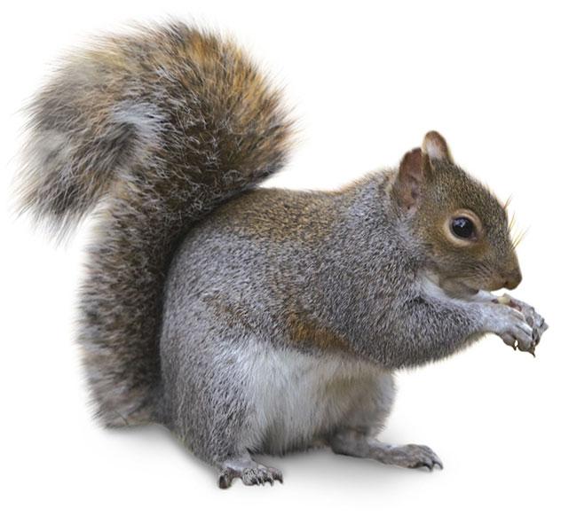 ActionPest_Squirrel