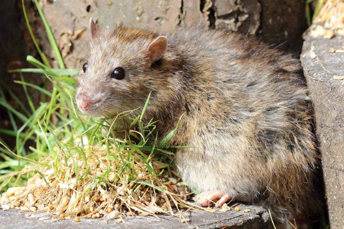 brown-rat Action Pest Control