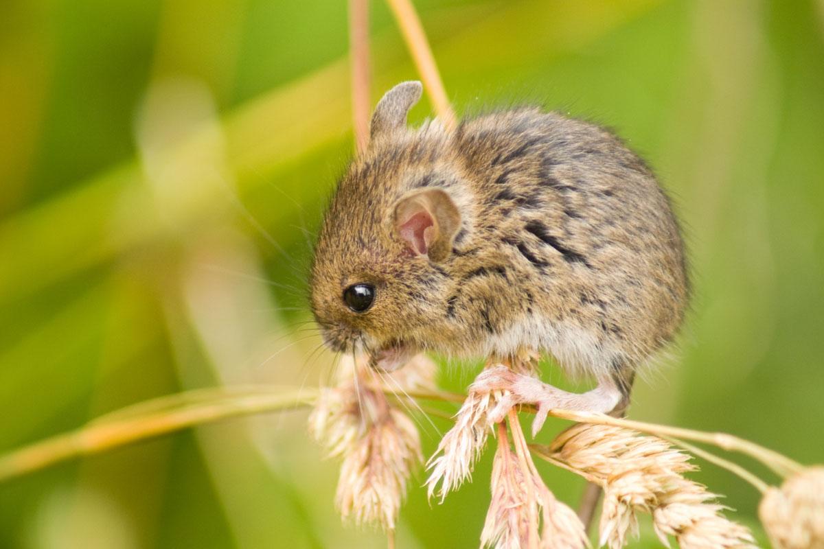 field-mice